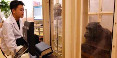 A chimpanzee being eye tracked using X120 Tobii Pro eye tracker.