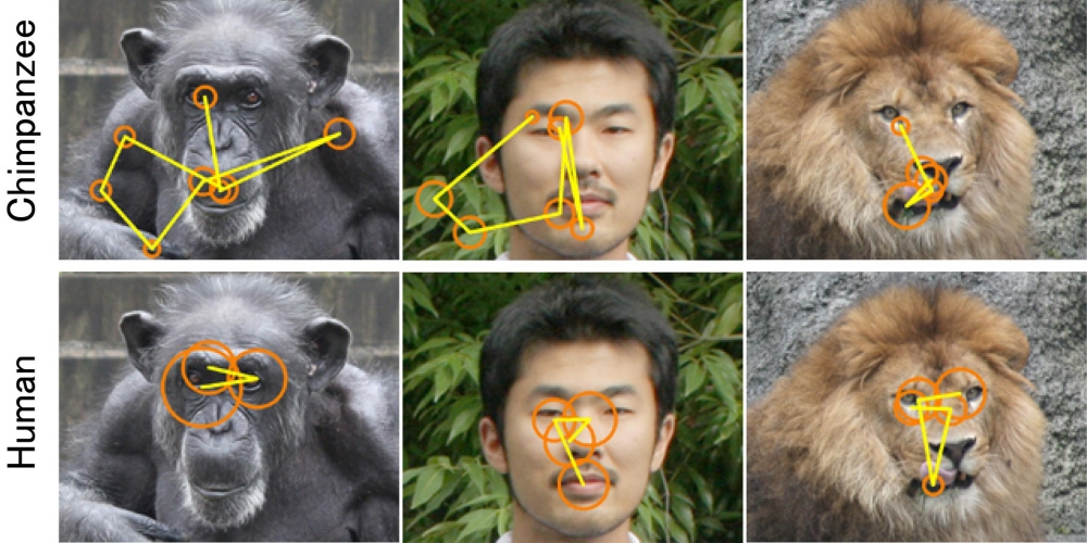 Gaze plot describing the face scanning patterns of humans vs chimpanzees in neutral faces -
